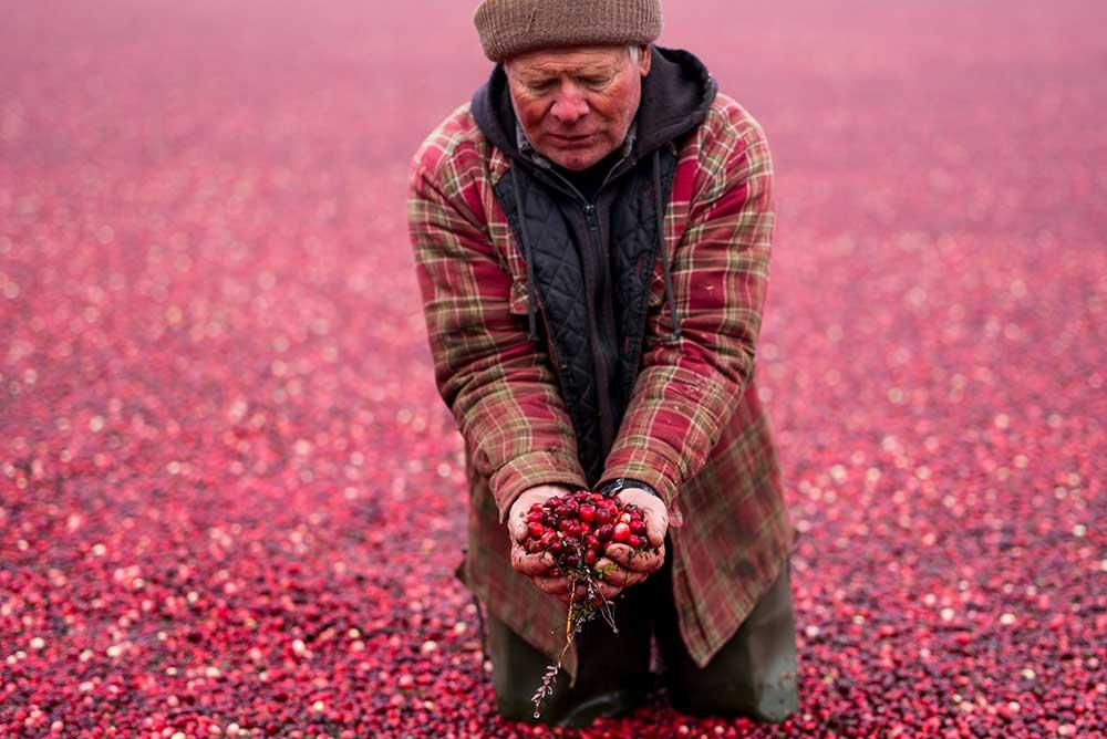 Cranberry harvest in Warrens, Wisconsin, 2014.