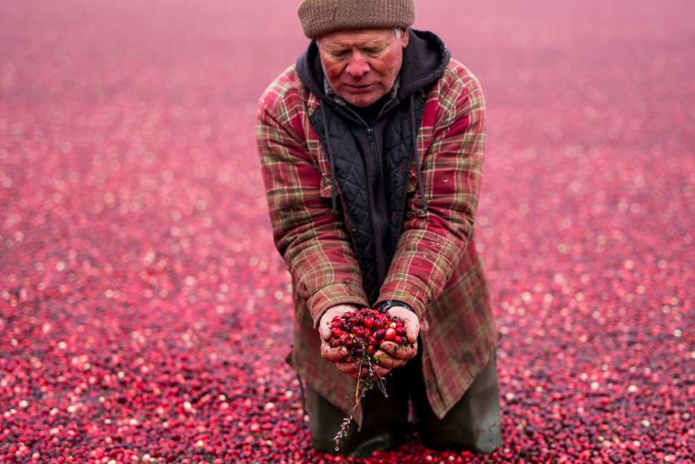Cranberry harvest in Warrens, Wisconsin, 2014.